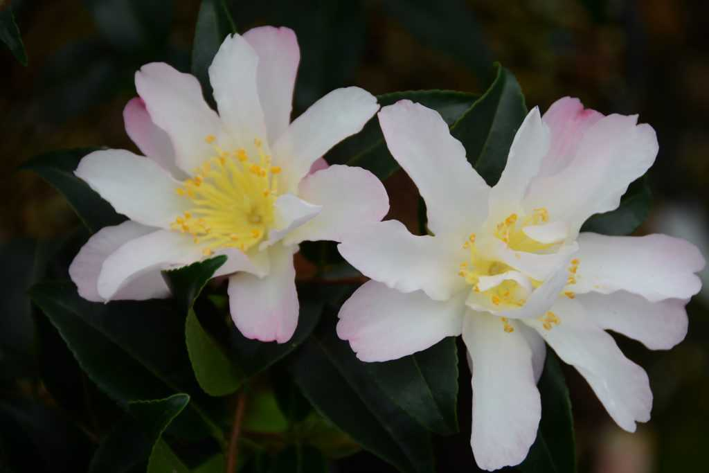 Camelia-Frosted Star