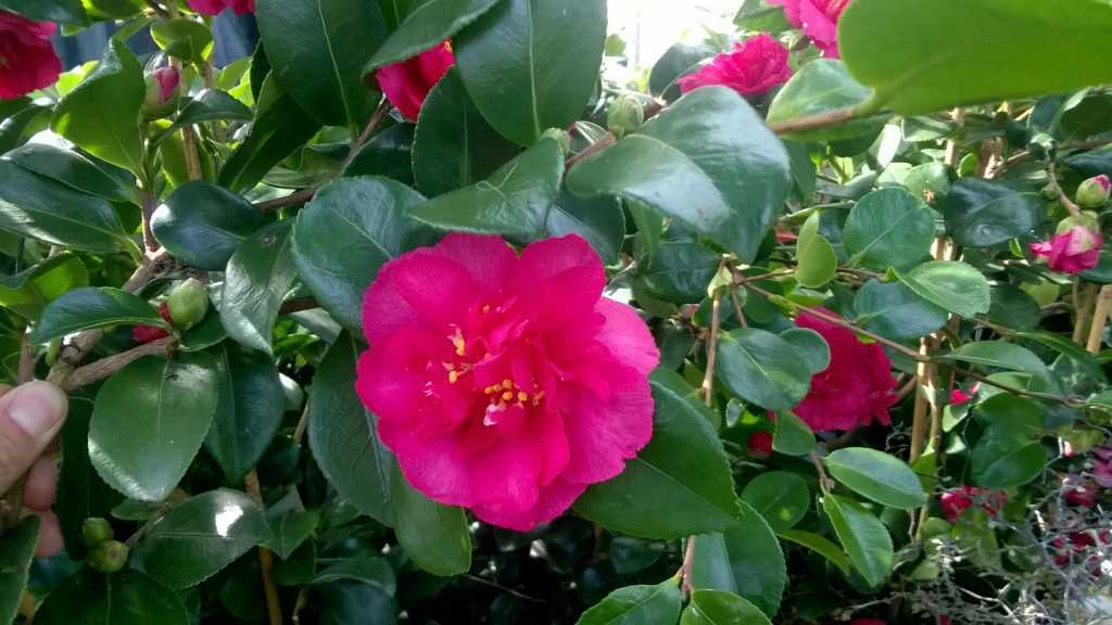 Camellia-Bonanza