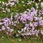 Le cyclamen de Naples, des tapis de fleurs en automne