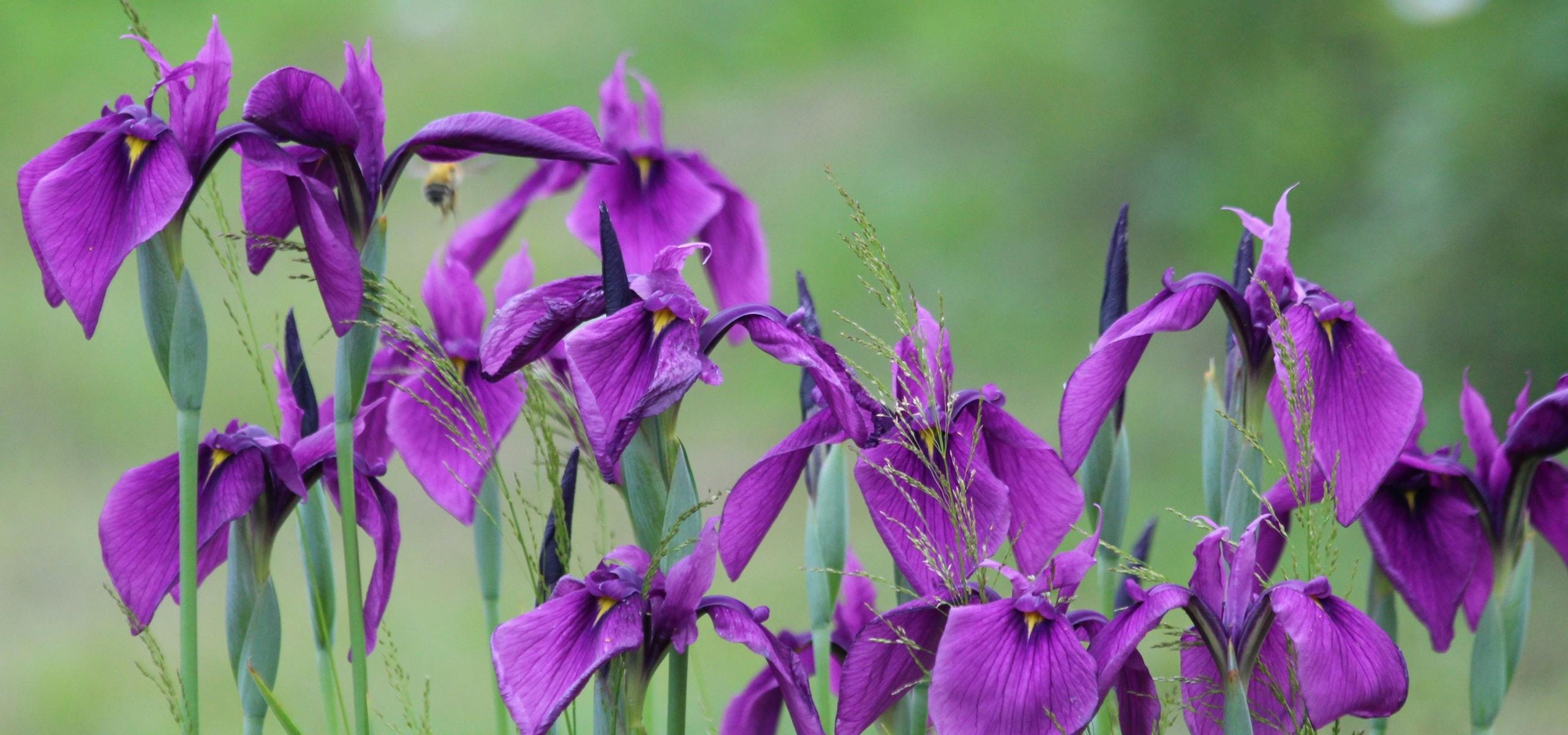 Comment soigner les iris blog promesse de fleurs for Soigner amaryllis
