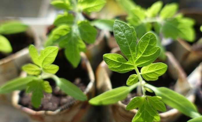 Le semis des tomates et leur repiquage