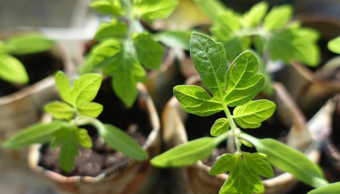 Le semis des tomates et leur repiquage tutuoriel - Comment semer des tomates ...