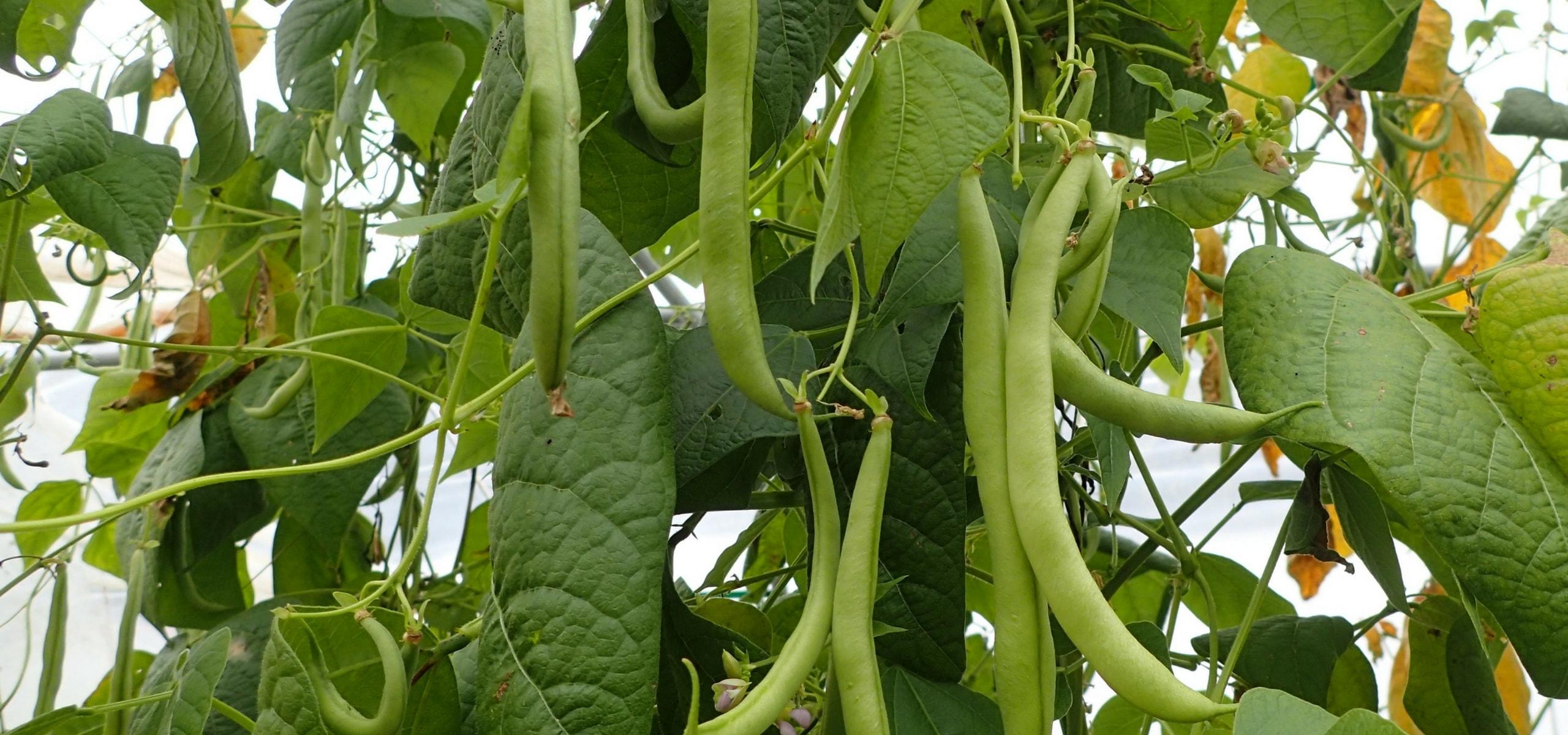 réussir la culture des haricots - promesse de fleurs