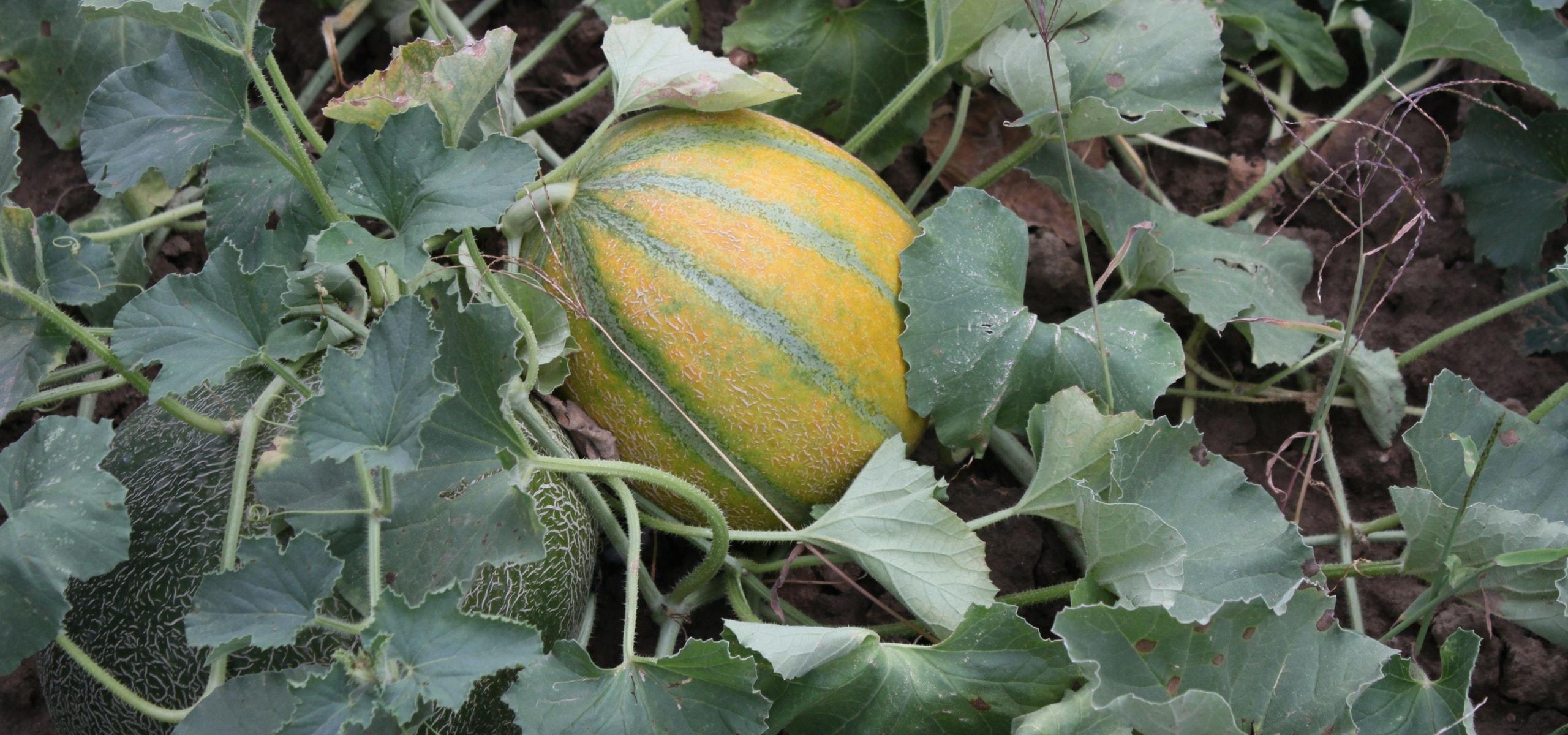 R ussir la culture du melon promesse de fleurs - Culture du melon charentais ...