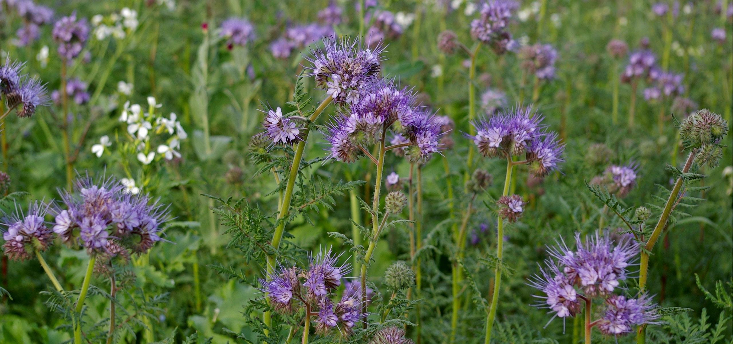 Engrais verts les conna tre et bien les utiliser au - Comment utiliser le crottin de cheval au jardin ...
