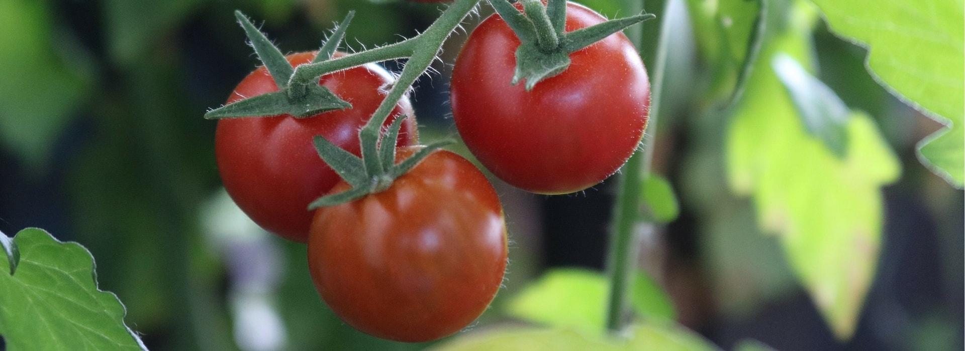 Tomate En Pot Conseil la culture de la tomate : réussir semis, plantation, taille