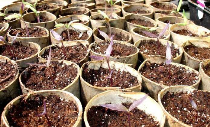 R ussir la culture des piments et poivrons blog promesse - Quand planter les poivrons ...