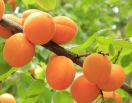 Abricotier : plantation, taille et entretien