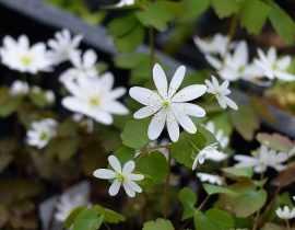 Anemonella thalictroides, un joyau en fleurs en ce moment.