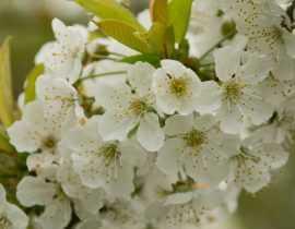 Cerisier : plantation, taille et entretien