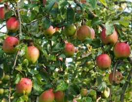 Pommier : plantation, taille et entretien