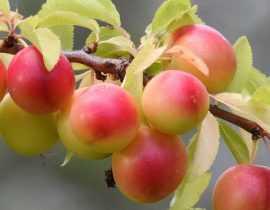 Prunier : plantation, taille et entretien