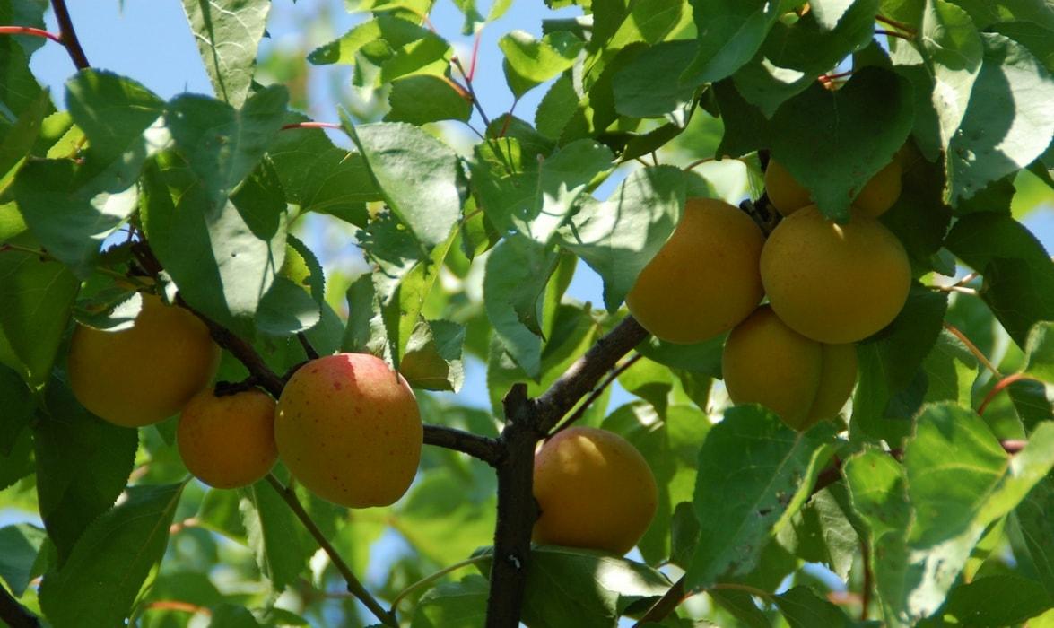 Abricots au verger