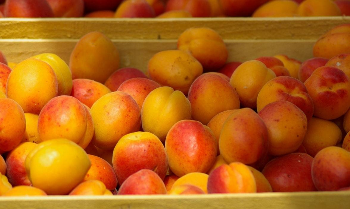 la récolte des abricots