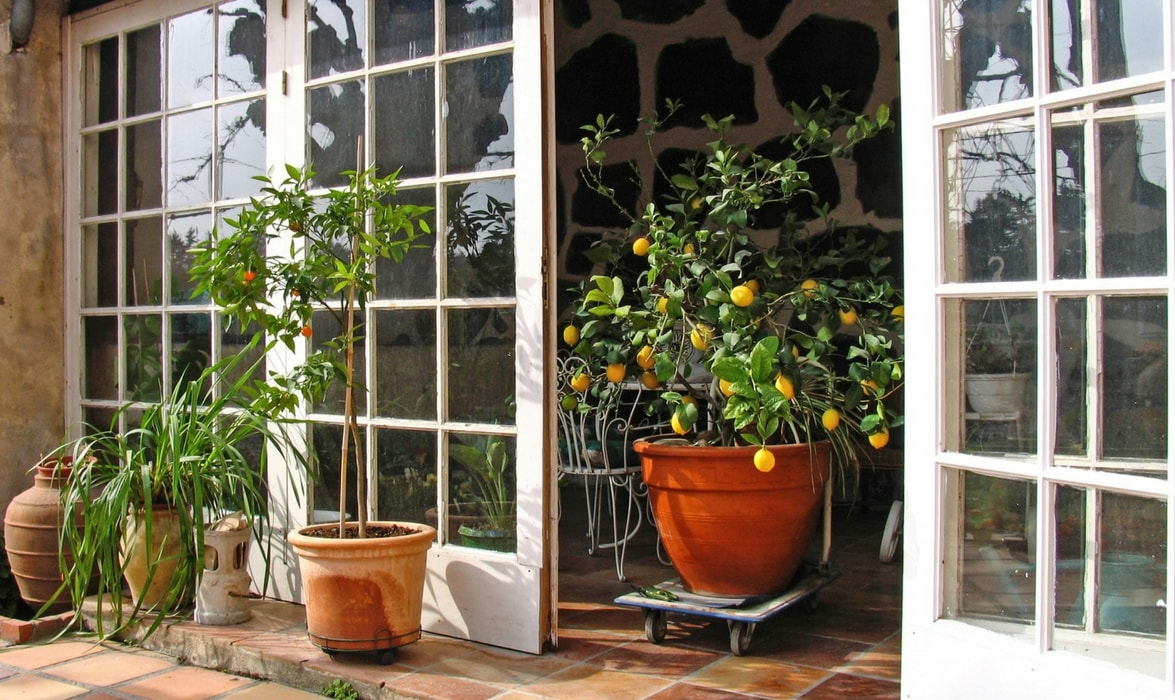 agrumes plantation et entretien blog promesse de fleurs. Black Bedroom Furniture Sets. Home Design Ideas