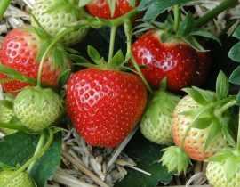 Cultiver les fraisiers