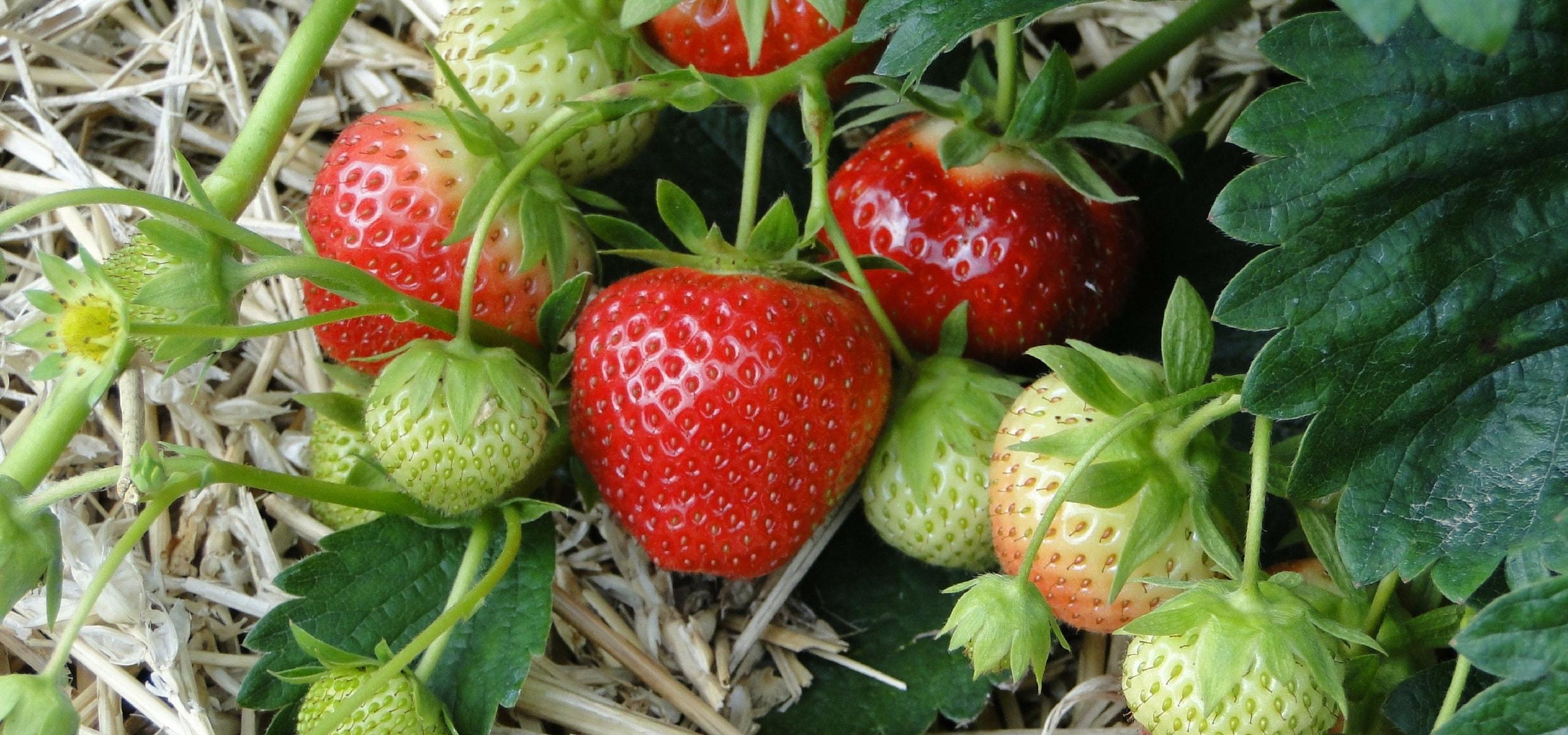 Culture fraisier en pot fraisier uananasupot diamtre - Fraisier en pot entretien ...