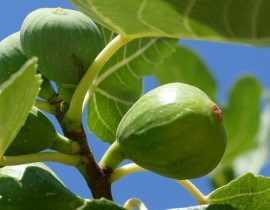 Figuier : plantation, taille et entretien