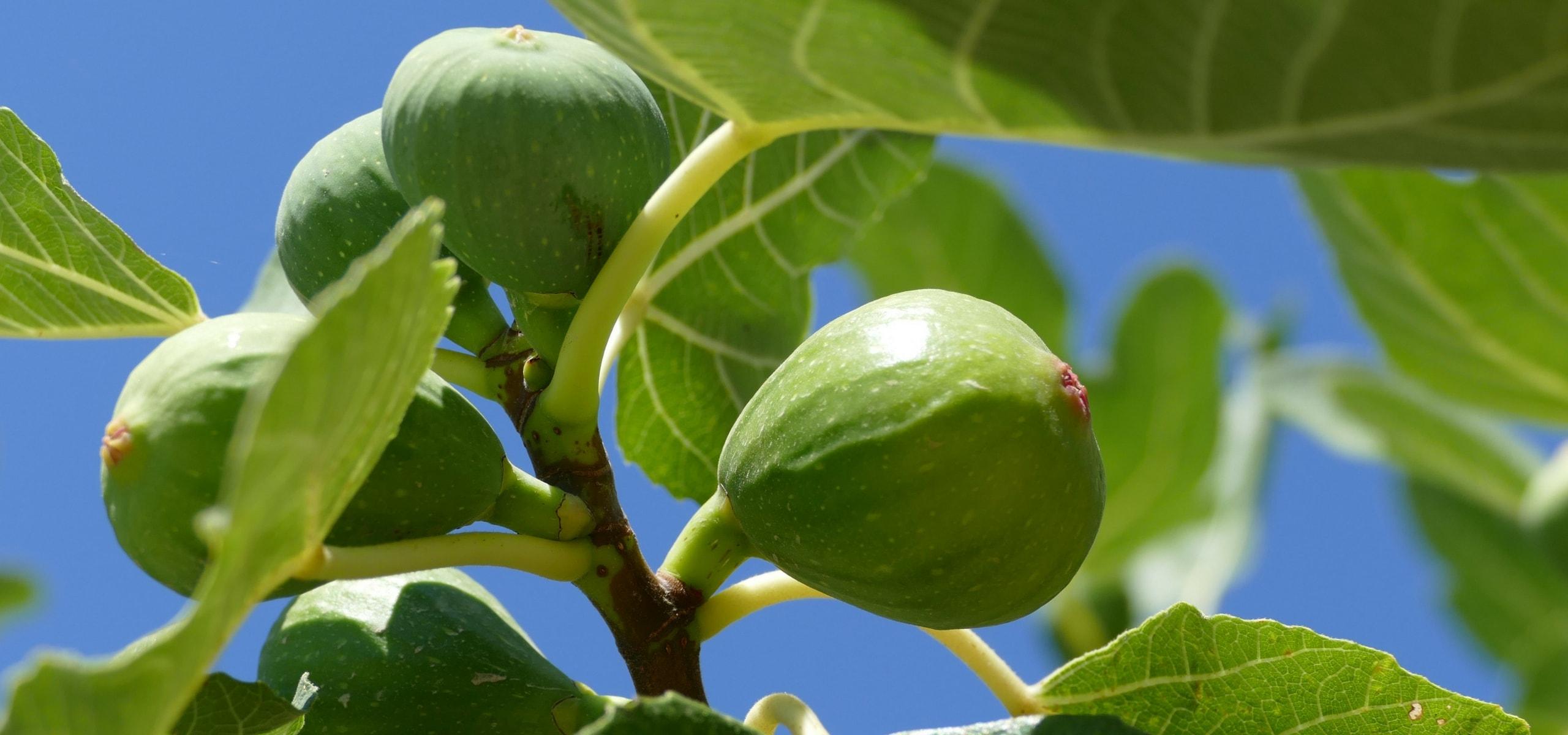 Planter taille le figuier ficus carica et bien en for Conseil plantation jardin
