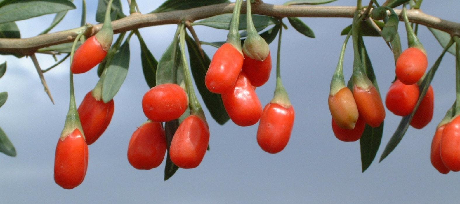 Culture r colte et s chage des baies de goji promesse de fleurs - Quand tailler les citronniers ...