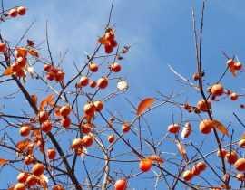 Kaki ou Plaqueminier : plantation, taille et entretien