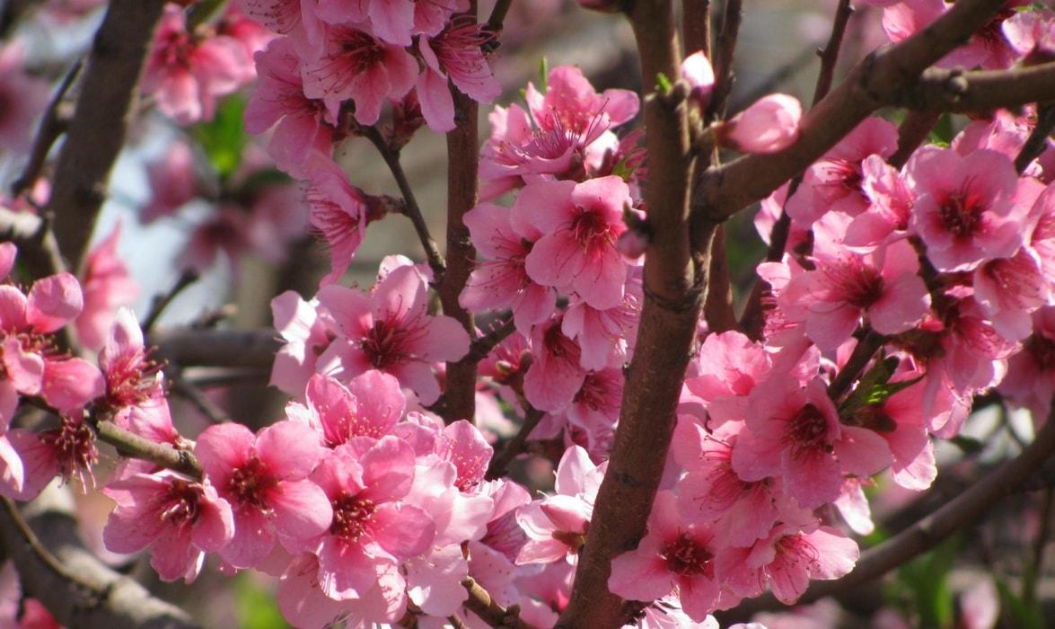 La Pollinisation Des Arbres Fruitiers Pommiers Poiriers