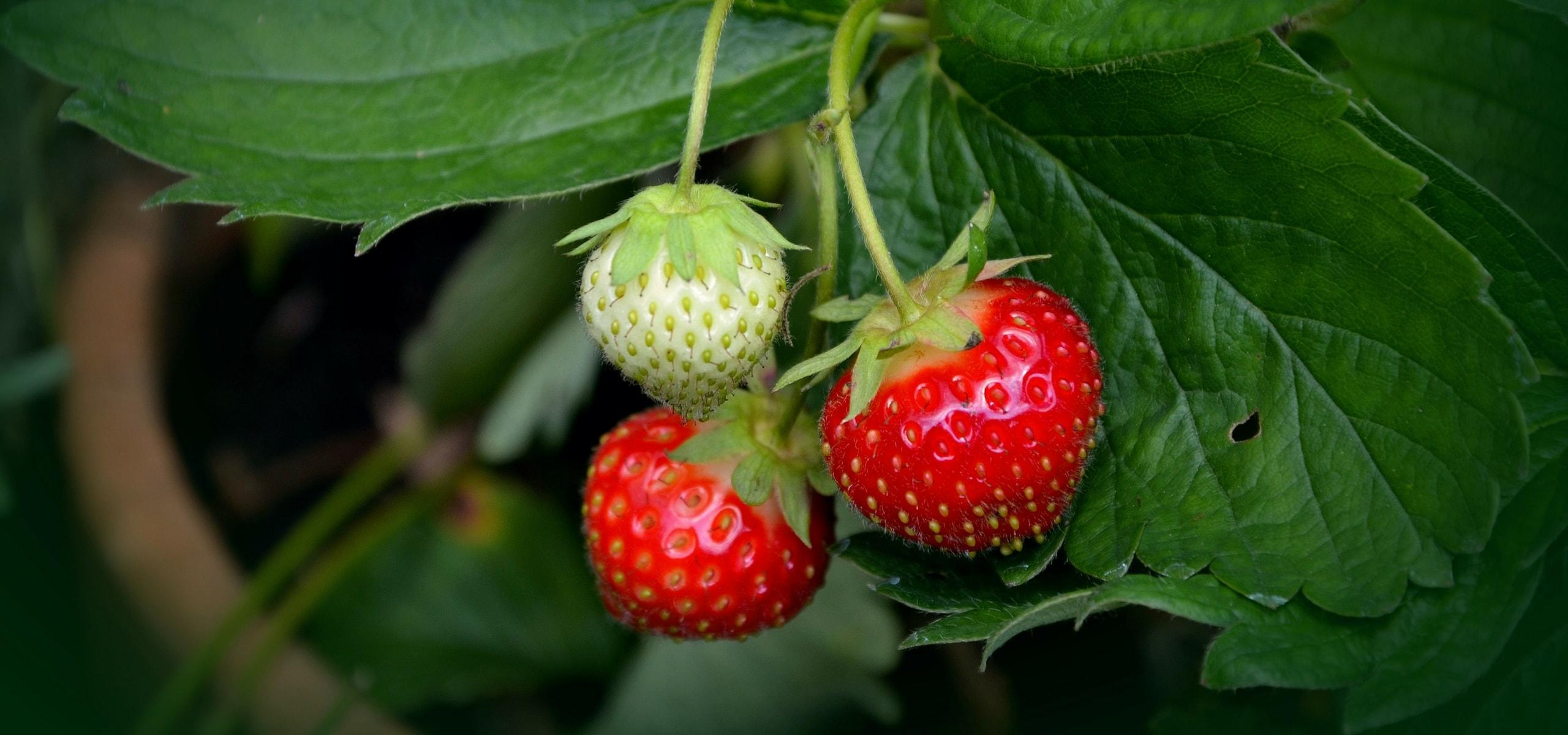Planter des fraisiers en racines nues o quand et comment promesse de fleurs - Quand planter des fraisiers ...