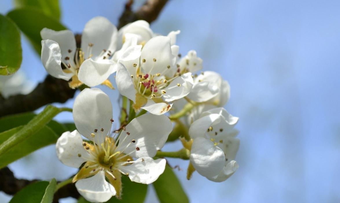 La floraison du poirier au printemps