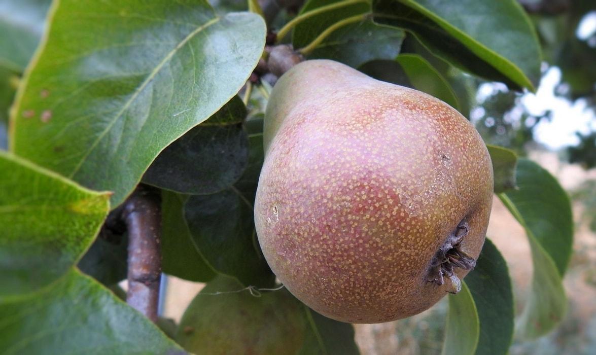Poire : fruit
