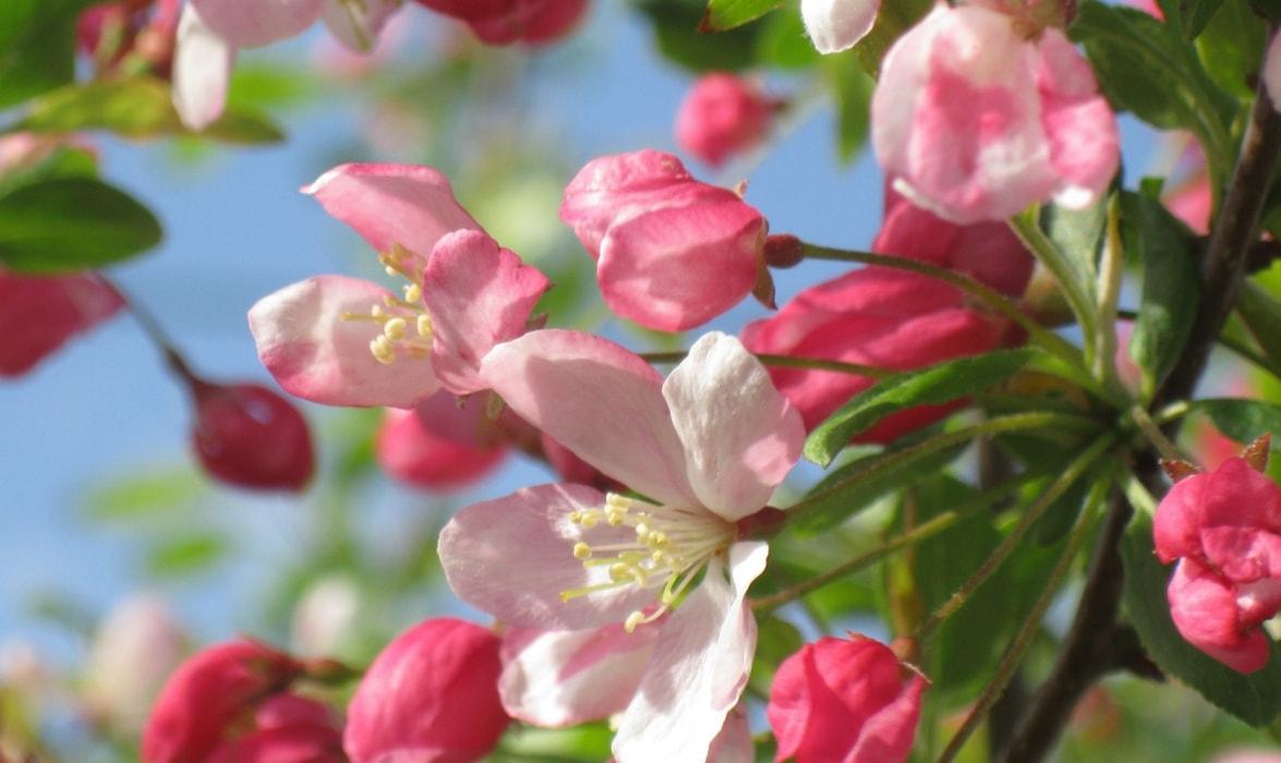 Pommier plantation taille et entretien nos conseils for Promesse de fleurs