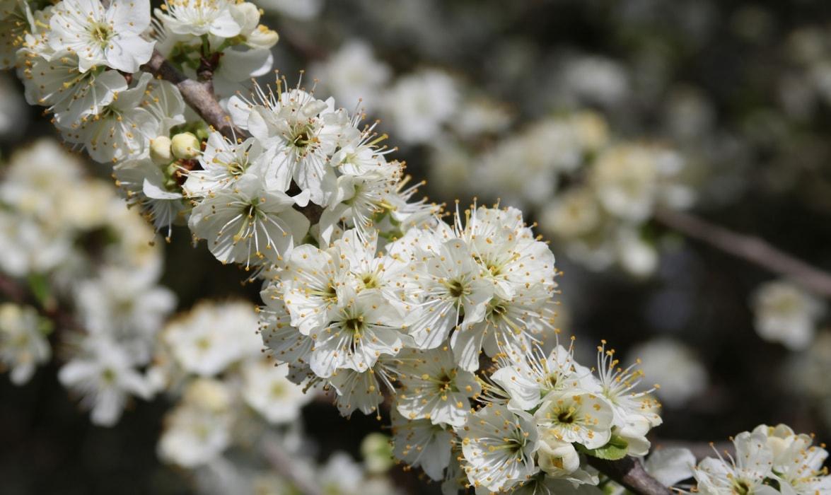 Fleurs du prunier