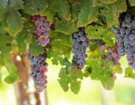 Vigne : plantation, taille et entretien