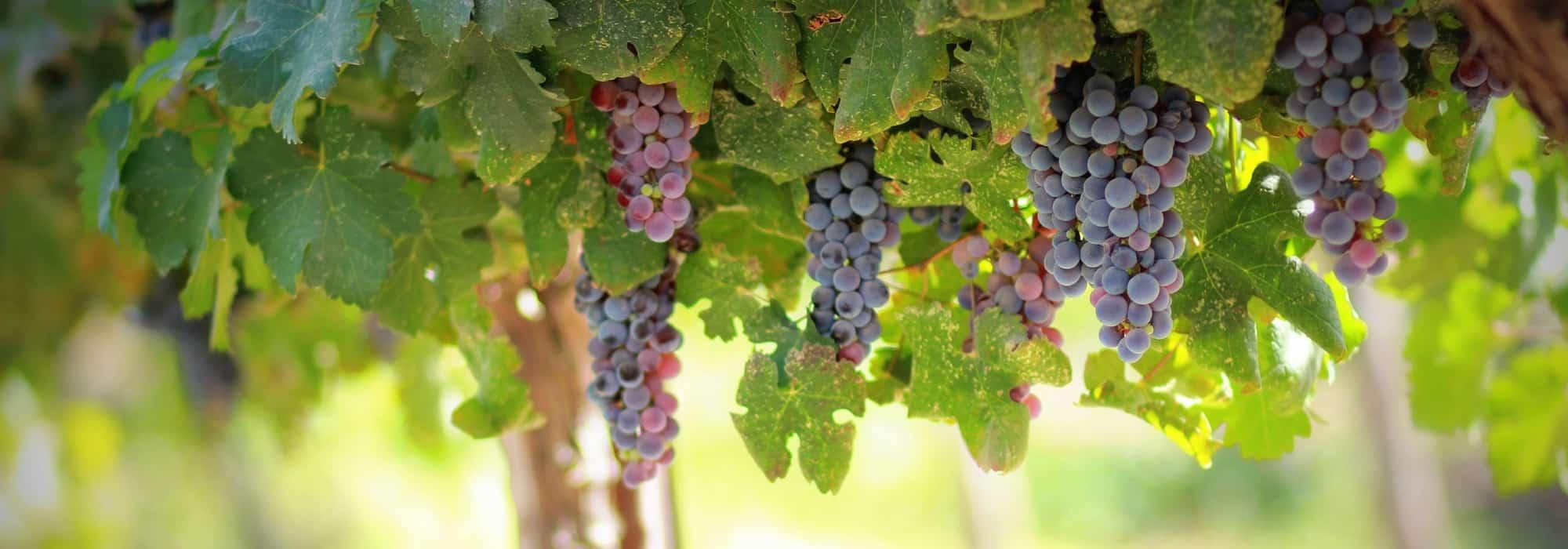 Entretien d un pied de vigne vigne muscat de hambourg h - Pied de vigne en pot ...