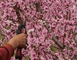Arbres fruitiers : la taille de formation d'un scion