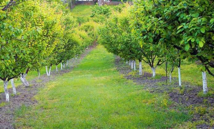 Le chaulage des arbres fruitiers