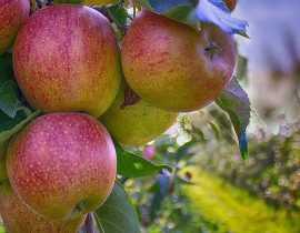Créer un verger : bien choisir ses arbres fruitiers