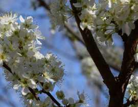 Entretien et taille des arbres fruitiers haute tige