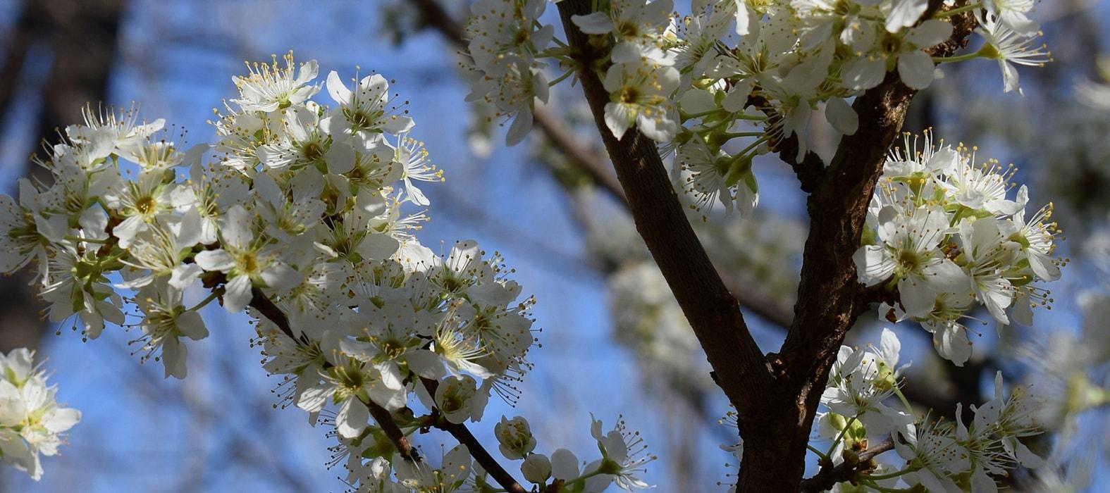 Arbres fruitiers haute tige entretien et taille - Taille arbre fruitier ...