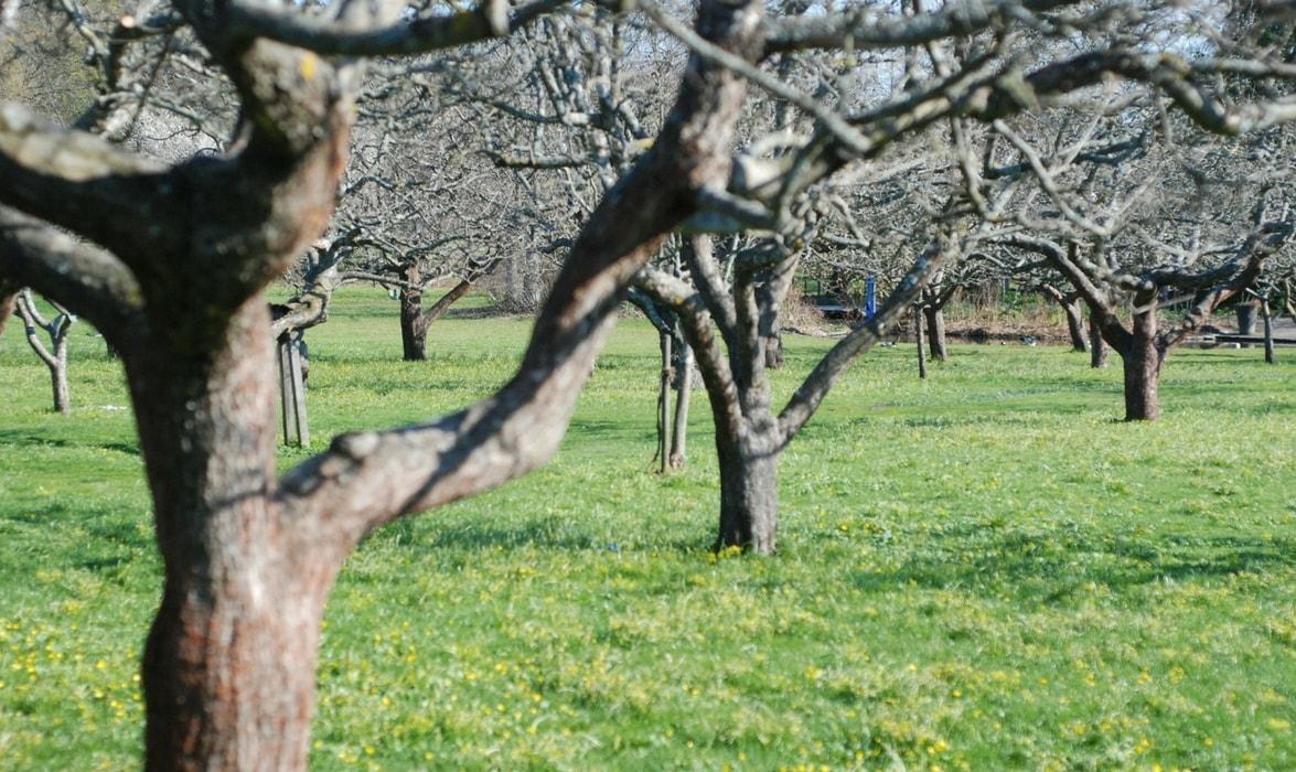 arbres fruitiers la taille de formation d 39 un scion. Black Bedroom Furniture Sets. Home Design Ideas