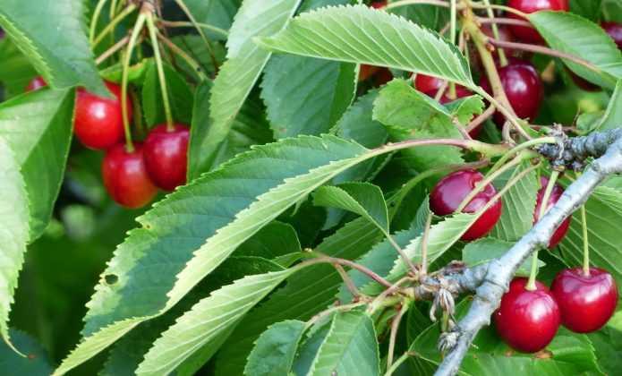 Fruitiers : protéger ses récoltes des oiseaux