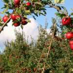 Arbres fruitiers : protéger son verger au naturel