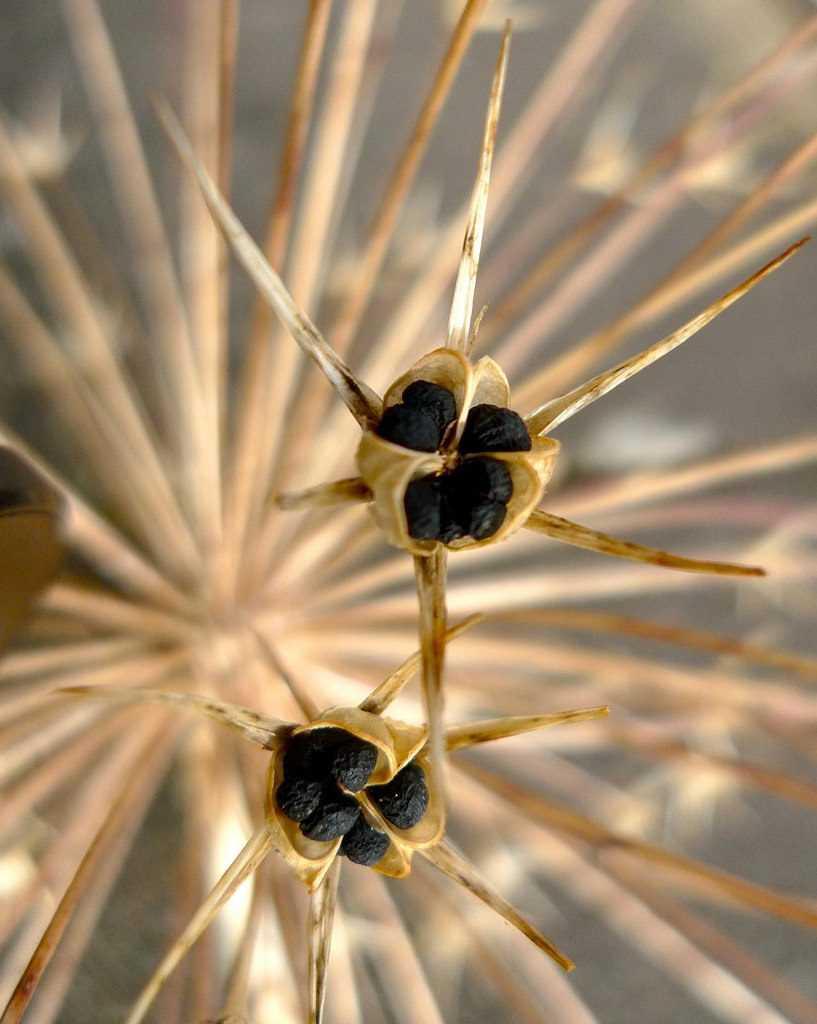 Graines d'Allium