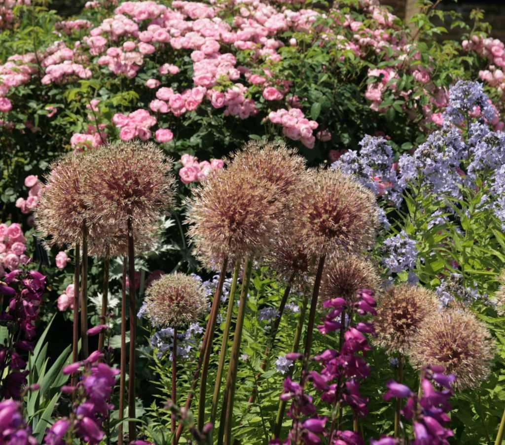 Allium Globemaster en fin de floraison