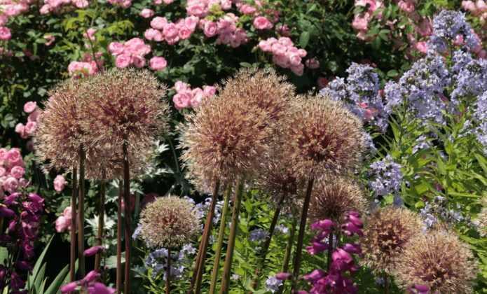 Planter des alliums blog promesse de fleurs - Quand faut il couper les fleurs fanees des hortensias ...