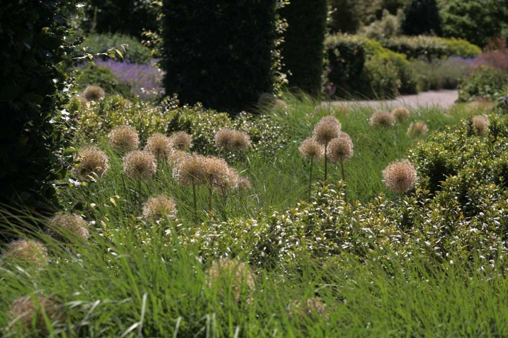Tête d'Allium émergeant des graminées