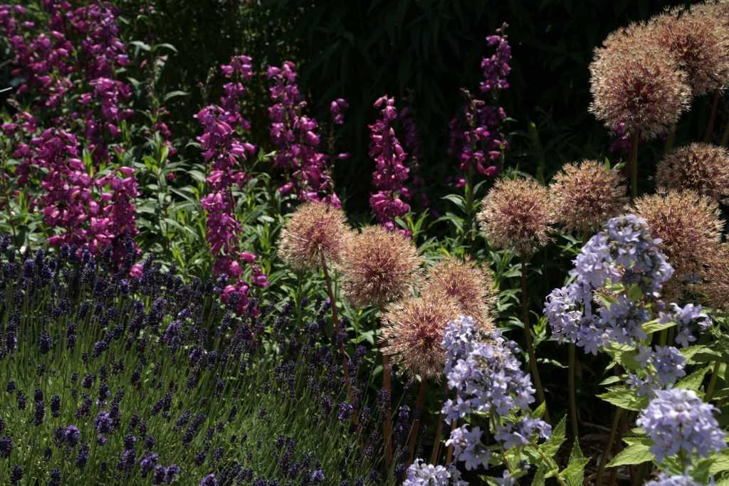 Fleurs fanées d'Allium Globemaster en mélange avec des campanules, penstemons et lavandes