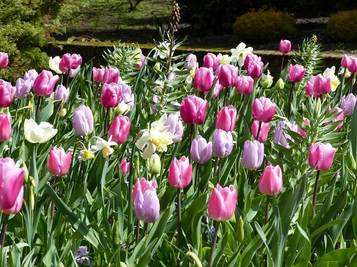 tulipe in