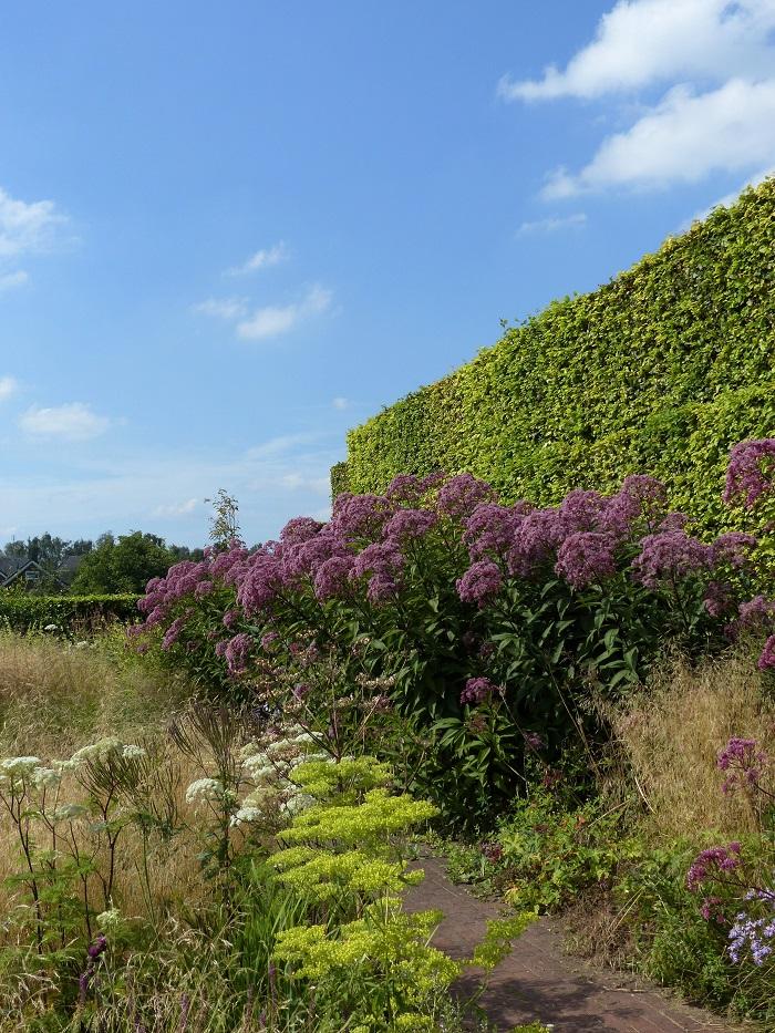 """Favorite du jardin d'Hummelo et plante """"naturaliste"""" par excellence, l'imposante eupatoire 'Riesenschirm', haute de plus de 2 mètres, est ici """"ramenée à l'échelle"""" grâce à une haie de charme plus grande qu'elle !"""