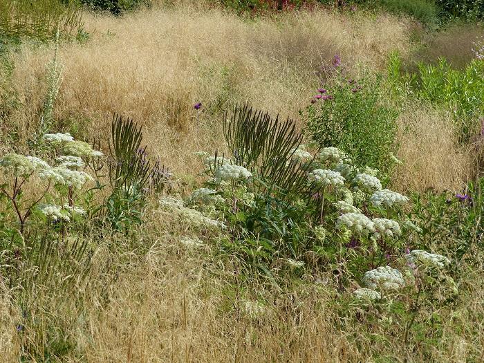 """Cette magnifique ombellifère, Selinum wallichianum, est devenue mon """"Graal"""" et celui de nombreux autres jardiniers (comme Ingrid !) après l'avoir découverte en couverture du livre """"Jardins d'Avenir"""" de Piet Oudolf et Noel Kingsbury (éditions du Rouergue). Elle est ici associée aux épis de Verbena hastata et à la graminée Deschampsia caespitosa"""