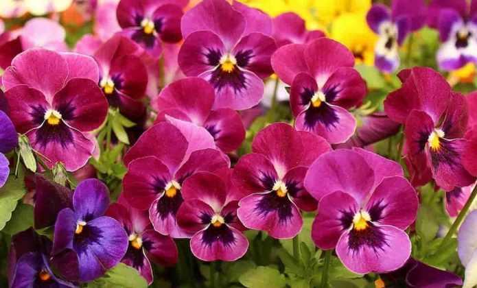 plante bisannuelle tout ce que vous avez toujours voulu savoir promesse de fleurs. Black Bedroom Furniture Sets. Home Design Ideas